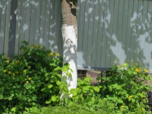 побелка деревьев остатками краски после ремонта
